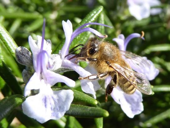 Honigbiene an Blüte.